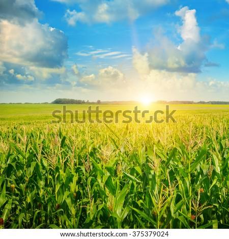 sunrise over the corn field - stock photo