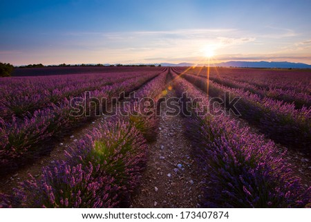 Sunrise upon a french lavender field. - stock photo