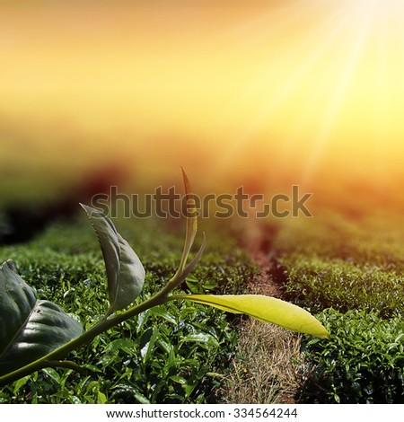 Sunrise view of tea plantation landscape at Cameron Highland, Malaysia. Tea Leaf with morning golden sunlight. - stock photo