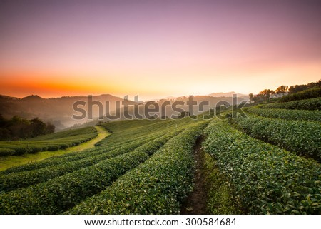 Sunrise view of tea plantation landscape at 101 Chiang Rai Tea,North of Thailand, Vibrant color &  Sun effect