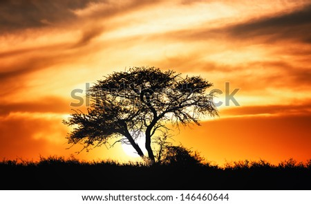 Sunset against acacia tree on african plains - Kalahari desert  - South Africa - stock photo