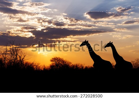 sunset and giraffes in silhouette in Africa, dramatic sky, Botswana - stock photo