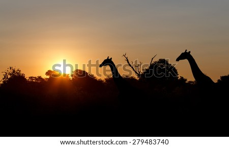 sunset and giraffes in silhouette in Africa, Namibia - stock photo