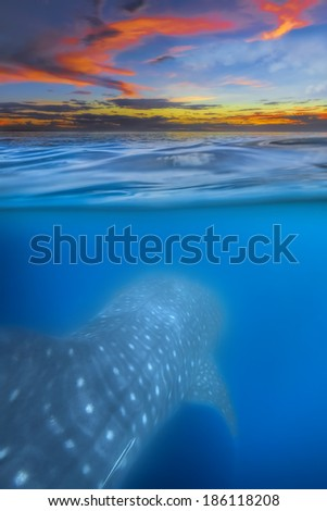 Sunset and whale shark - above and below water - stock photo