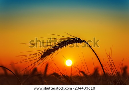 sunset and wheat ear on field - stock photo