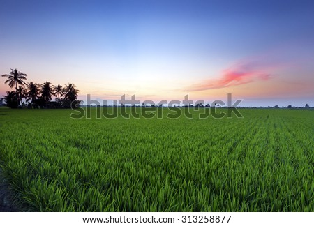 Sunset at paddy plantation