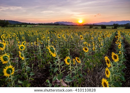sunset at sunflowers farm with mountain background