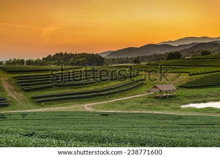 Sunset at Tea Plantation in Boon Rawd Farm ,Chiang Rai, Thailand - stock photo