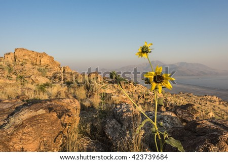 Sunset at the top of Antelope Island with yellow daisy flower at the foreground located near Salt Lake City, Utah.  - stock photo
