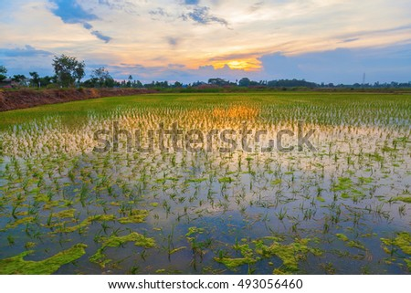 Sunset background with green rice fields in Thailand