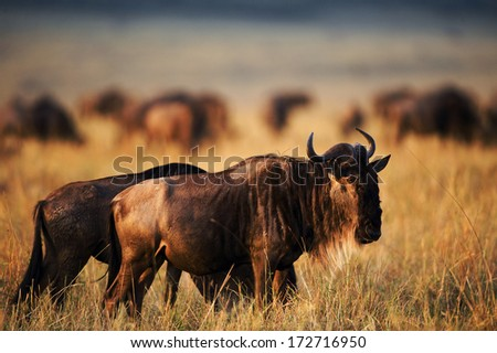 Sunset Black Wildebeest.  Africa. - stock photo