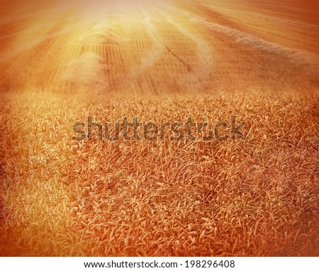 Sunset in a field of wheat - Late afternoon on a beautiful wheat field - stock photo