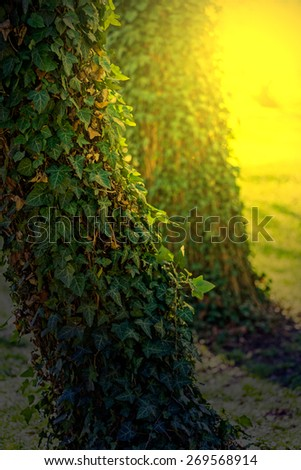 Sunset in a forest with trees full of ivy. Image digitally manipulated. - stock photo