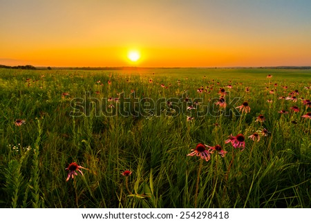 Sunset in a Prairie Field of Purple Coneflowers.  Wildflowers are an important part of a prairie and the restoration of them. - stock photo