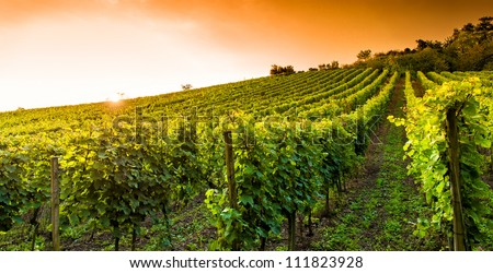 Sunset in a vineyard in Hessen Germany - stock photo