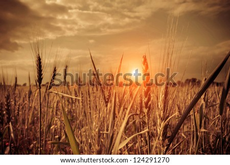 sunset in a wheat field - stock photo