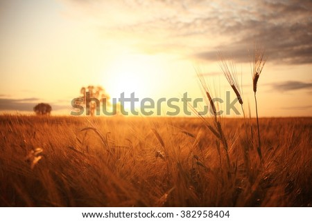 Sunset in Europe in a wheat field - stock photo