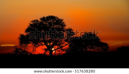 Sunset in Kruger National Park showing the silhouette of a Marula tree.