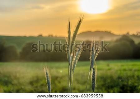 Sunset in the cereal field