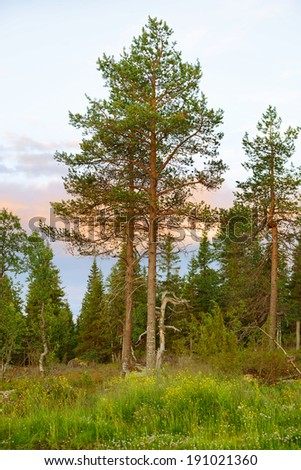 Sunset in the north woods. Finnish Lapland - stock photo