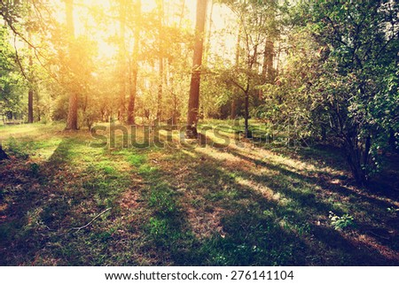 Sunset in the pine forest. Color toning. Sunshining. - stock photo