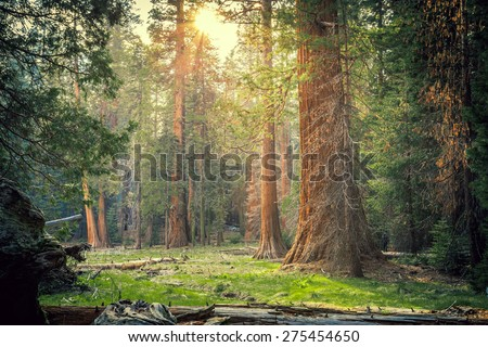 Sunset in the Sequoia Forest, Sequoia National Park, California  - stock photo