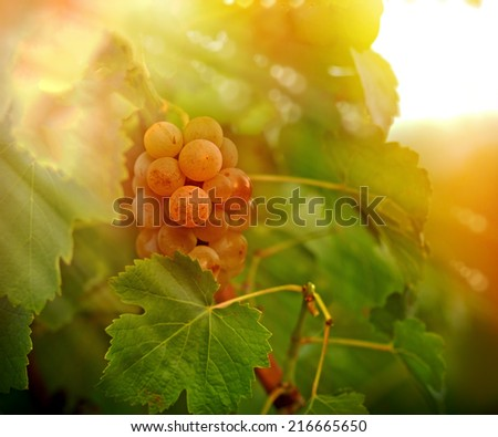 Sunset in the Vineyard - grape Riesling - stock photo