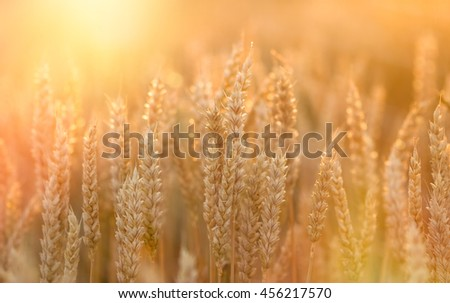 Sunset in wheat field - golden grain of wheat (harvest is close) - stock photo