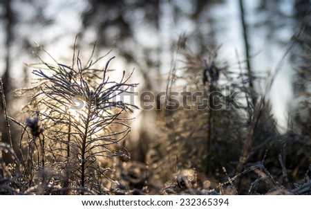 Sunset in winter forest with young pine tree, covered with hoarfrost - winter nature background - stock photo