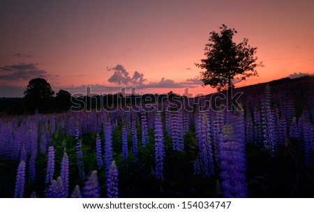 Sunset is in the flower field