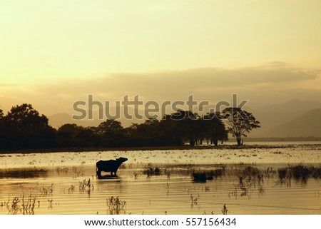 Sunset lake landscape with buffalo standing in water on Sri Lanka island