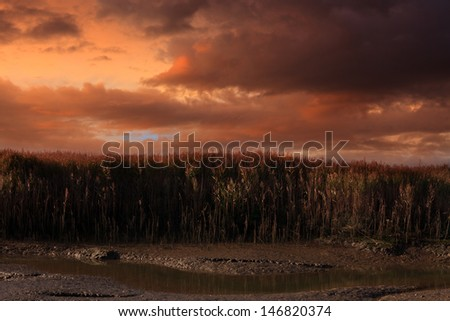 sunset landscape of a coastal reed bed at low tide - stock photo
