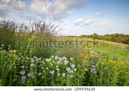 Sunset light on prairie wildflowers at Blackwell Forest Preserve, DuPage County, Illinois. - stock photo