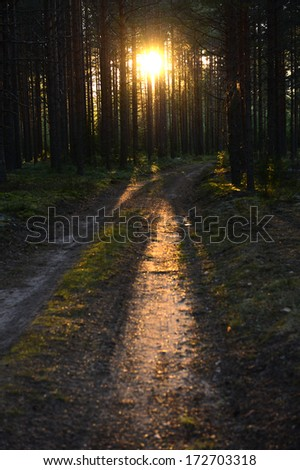 Sunset light. Summer forest. Sunset light of the leaving sun through pine forest.  Beautiful nature background - stock photo