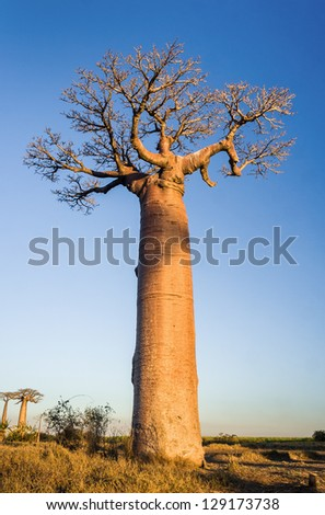 Sunset on baobab trees near Morondava, western Madagascar - stock photo
