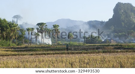 Sunset on palm tree range among paddy rice field, foggy day.