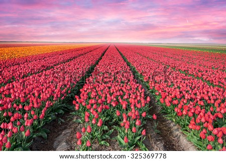 Sunset on the blooming tulips field