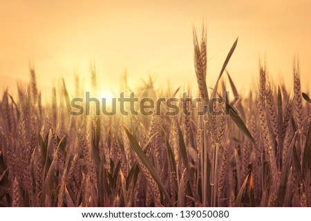 sunset on the field of wheat. Composition of nature