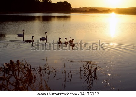sunset on the pond with swans