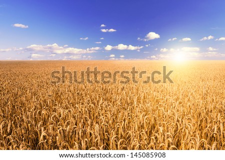 sunset on wheat field