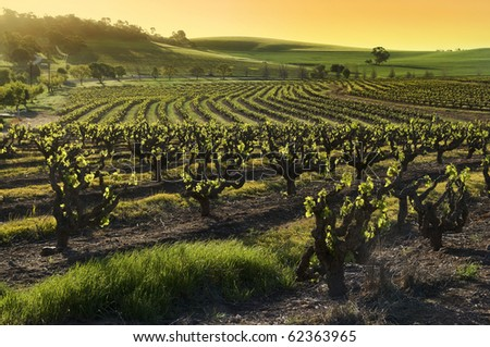 Sunset over a Barossa Valley vineyard, in the spring season. South Australia - stock photo