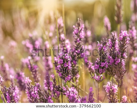 Sunset over a lavender field in Provence, France - stock photo