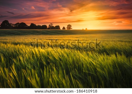 Sunset over a ripening wheat field - stock photo