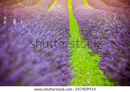 Sunset over a summer lavender field in Provence, France. Shot with a selective focus. - stock photo