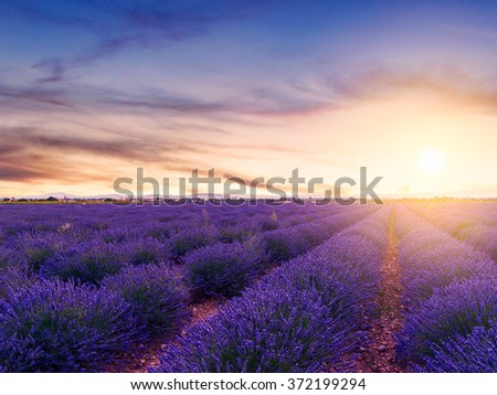 Sunset over a summer lavender field in Valensole.Provence,France - stock photo