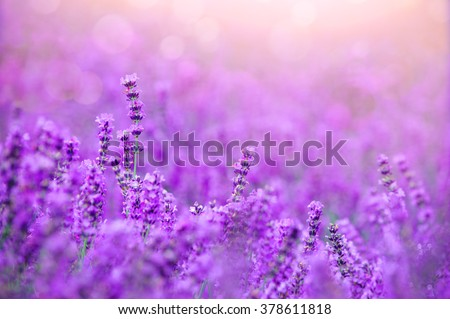Sunset over a violet lavender field in Provence, hokkaido