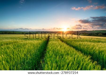 Sunset over fields of lush green barley growing near Wadebridge in Cornwall - stock photo