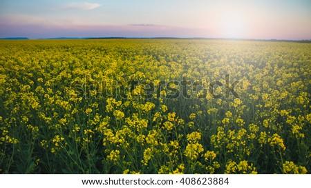 Sunset over rapeseed flower field.  - stock photo