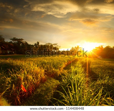 Sunset over rice field. Ubud, Bali - stock photo