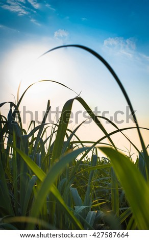 Sunset over sugar cane field - stock photo